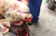 Reportaxe. A matanza do porco